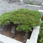墓地内の樹木(柘植と松など)の伐採と砂利敷きが完了。平尾霊園にて